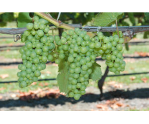 CRAGGY RANGE GRAPES READY FOR HARVEST